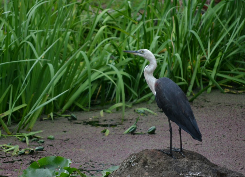 White Necked Heron In Wongari Frog Pond